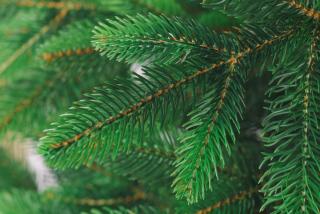 Дриада светло-зеленая